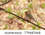 erithacus rubecula. the wild... | Shutterstock . vector #779687668