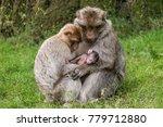 Barbary Macaque Monkey Family ...