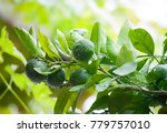 close up of green limes on the... | Shutterstock . vector #779757010