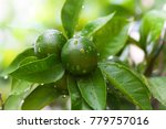 close up of green limes on the... | Shutterstock . vector #779757016