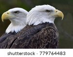 Two Eagles Nesting