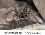 Small photo of Alopecosa sp. (Lycosidae)