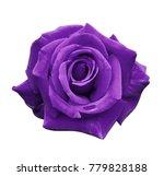 Velvet purple rose on a white...