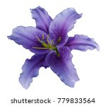 violet lily  flower  on a white ... | Shutterstock . vector #779833564