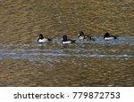 Ring Necked Ducks On Lake