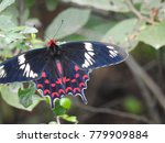 beautiful wings expanded black... | Shutterstock . vector #779909884