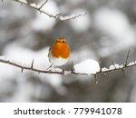 robin   erithacus rubecula ... | Shutterstock . vector #779941078