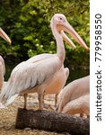 pelicans are a genus of large... | Shutterstock . vector #779958550