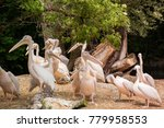 pelicans are a genus of large... | Shutterstock . vector #779958553
