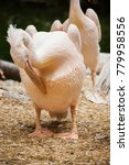 pelicans are a genus of large... | Shutterstock . vector #779958556