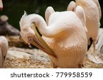 pelicans are a genus of large... | Shutterstock . vector #779958559