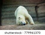 the polar bear is a carnivorous ... | Shutterstock . vector #779961370