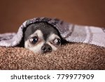 cute apple head chihuahua on a... | Shutterstock . vector #779977909