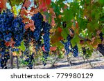 Grapes Hanging In Vineyard In...