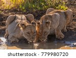 two female lions drink together ... | Shutterstock . vector #779980720