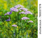 Small photo of Yarrow (lat. Achillea millefolium). Inflorescence close-up on the background of meadow grass
