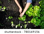 Hands Picking Green Lettuce ...