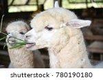 alpaca chewing glass  feeding...
