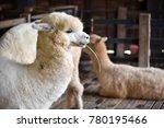 Alpacas Feeding In Barn  Alpac...