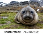 Elephant Seal On Beach Of South ...