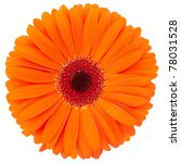 Orange Flower Of Gerber...