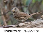 Fox Sparrow Perched On Log