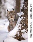 canadian lynx stalking peeps...   Shutterstock . vector #780358714