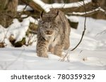 Canada Lynx Walking In Deep...