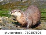 asian small clawed otter aonyx... | Shutterstock . vector #780387508