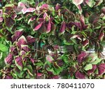 Small photo of Melaka, Malaysia - December 22, 2017: Amaranthus dubius, the red spinach, Chinese spinach, spleen amaranth, hon-toi-moi, yin choy, or hsien tsai is a plant species.