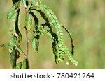 phyllodium elegans  mountain