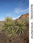 chapparal yucca  our lord's... | Shutterstock . vector #780435598