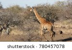 giraffe  giraffa camelopardalis ...   Shutterstock . vector #780457078
