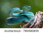Blue viper  venomous and...