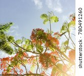 Small photo of Flamboyant tree in full bloom with rising sun casting a golden glow over the leaves and flowers