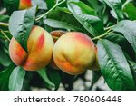 Mature Peaches Growing Among...