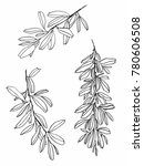 hand drawn olive twigs.... | Shutterstock . vector #780606508