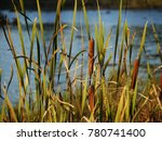 cattails and reeds next to the... | Shutterstock . vector #780741400