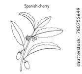 spanish cherry  mimusops elengi ... | Shutterstock .eps vector #780753649