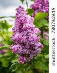 beautiful bunch of lilac... | Shutterstock . vector #780762619