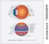 human eye anatomy vector... | Shutterstock .eps vector #780830899