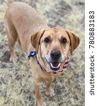 american lab pup | Shutterstock . vector #780883183