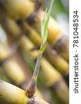 sugarcane  sugar cane   ...   Shutterstock . vector #781048534
