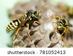a wasp for hives in nature | Shutterstock . vector #781052413