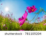 cosmos flowers blooming in the... | Shutterstock . vector #781105204