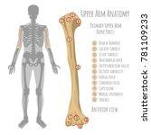 male upper arm bone anatomy....   Shutterstock .eps vector #781109233