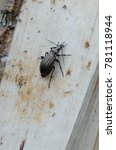 Small photo of Carabidae on the log