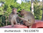 Small photo of A monkey forget oneself while its friend finding a tick.