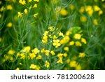 rape flowers. macro photo of a... | Shutterstock . vector #781200628