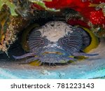 Small photo of Splendid Toadfish of Cozumel, Mexico. Only found on the Island of Cozumel, this fish puts out an amazing croak that can be heard underwater.